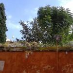 ruta cernuda magnolio